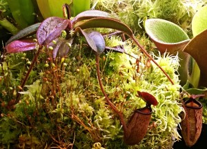 Nepenthes argentii (Mt. Guiting-Guiting, Philippines)
